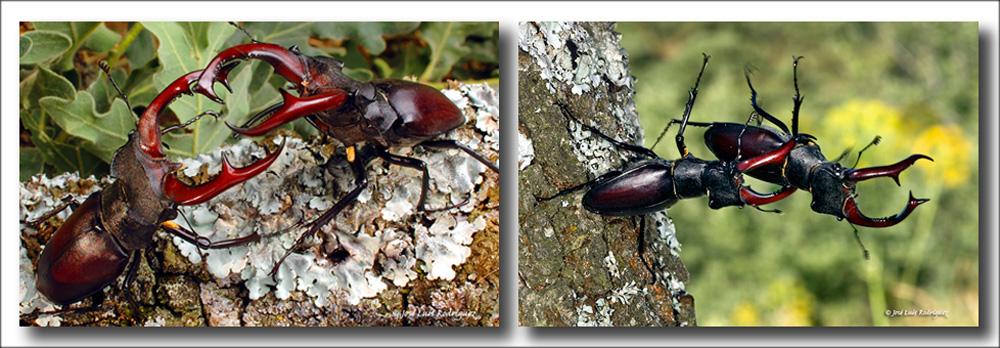 EcarabajoCiervoVoladorFotoJLR