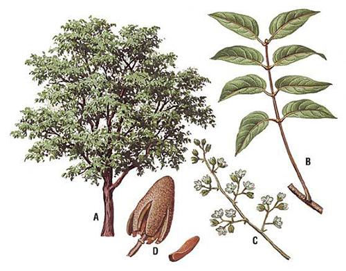 esquema-caobo