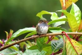 ♂ Colibrí Volcán,Volcano Hummingbird (Selasphorus flammula)