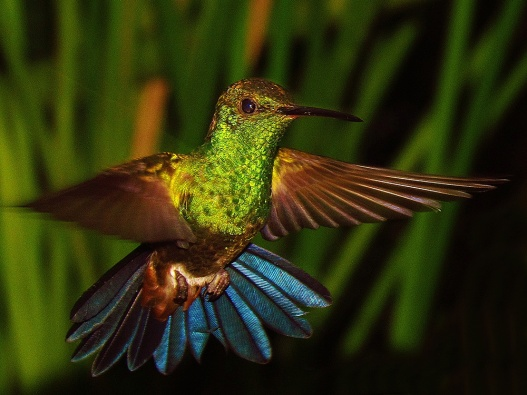 ♀=♂ Amazilia Bronceada Coliazul, Copper Rumped Hummingbird ( Amazilia Tobaci)