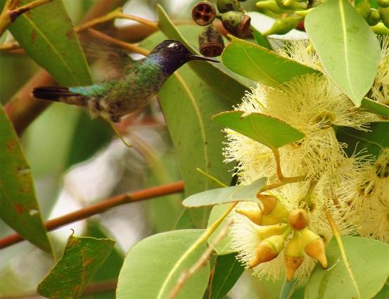 ♂ Tucusito Cabeza Azul, Violet-headed Hummingbird (Klais guimeti)