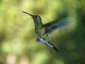♀=♂ Diamante Gargantiverde, Glittering-throated Emerald (Amazilia fimbriata)