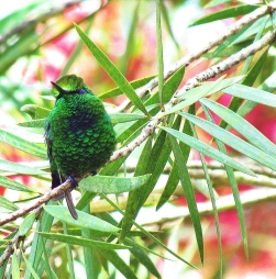 ♀=♂ Esmeralda coliverde, Green-tailed Emerald (Chlorostilbon alice)