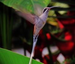♀=♂ Limpiacasa, Sooty-capped Hermit (Phaethornis augusti)