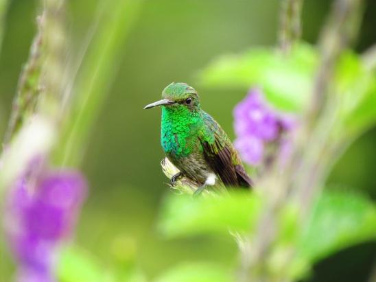 ♀=♂ Amazilia Culiazul, Steely-Vented Hummingbird (Amazilia saucerrottei)