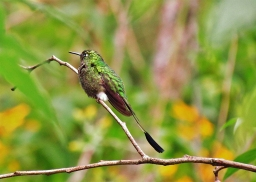♂ Colibrí Cola de Hoja, Booted Racket-tail (Ocreatus underwoodii)