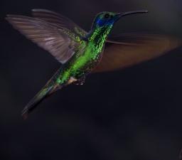 ♀=♂ Colibrí Orejivioleta Grande, Sparkling Violetear (Colibri coruscans)