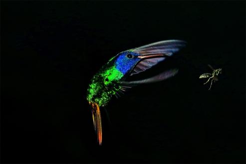 ♂ Colibrí Cola de Oro, Golden-tailed Sapphire (Chrysuronia oenone)