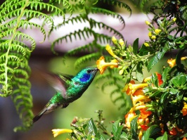 ♀=♂ Colibrí Orejivioleta Verde, Green Violetear (Colibri thalassinus)