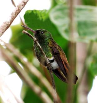 ♂ Amazilia Colibronceada, Cooper-tailed Hummingbird (Amazilia cupreicauda)