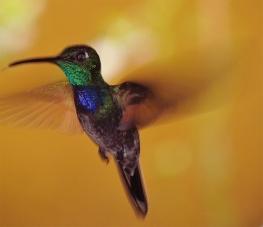♂ Colibrí Pechiazul, Violet-chested Hummingbird (Sternoclyta cyanopectus)
