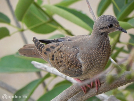 Tortolita sabanera [Common Ground-Dove] (Columbina passerina). Divi Village Golf and Beach Resort de Aruba.