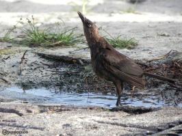 ♀ Tordo negro, Zanate Caribeño [Carib Grackle] (Quiscalus lugubris). Divi Village Golf and Beach Resort de Aruba.