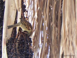 Correporsuelo [Rufous-collared Sparrow] (Zonotrichia capensis). Divi Village Golf and Beach Resort de Aruba.