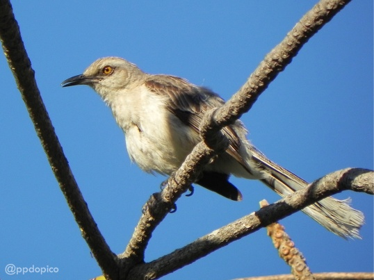 Paraulata llanera [Tropical Mockingbird] (Mimus gilvus), con el plumaje incompleto. Divi Village Golf and Beach Resort de Aruba.