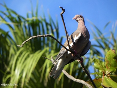 Paloma de alas blancas [Bare-eyed Pigeon] (Columba corensis). Divi Village Golf and Beach Resort de Aruba.