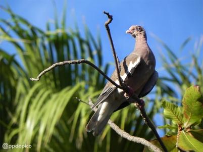 Paloma de alas blancas [Bare-eyed Pigeon] (Columba corensis). Divi Village Golf and Beach Resort de Aruba.