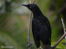 ♂ Tordo negro, Zanate Caribeño [Carib Grackle] (Quiscalus lugubris) completando su plumaje. Divi Village Golf and Beach Resort de Aruba.