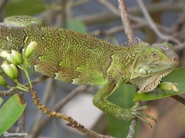 """Iguana en las ramas de un """"roble blanco"""" (Tabebuia heterophylla). Divi Village Golf & Beach Resort en Aruba"""