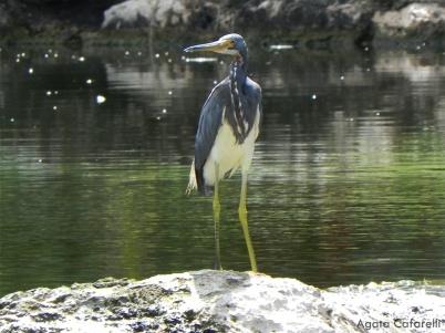 Garza pechiblanca [Tricolored Heron] (Egretta tricolor ruficollis). Divi Village Golf and Beach Resort de Aruba.