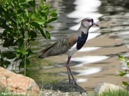 Alcaraván [Southern Lapwings] (Vanellus chilensis). Divi Village Golf and Beach Resort de Aruba.
