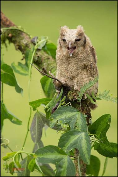 Tropical Screech Owl (Megascops choliba) perched on a branch at Pizote de Cartago (Finca de don Pancracio) Costa Rica.