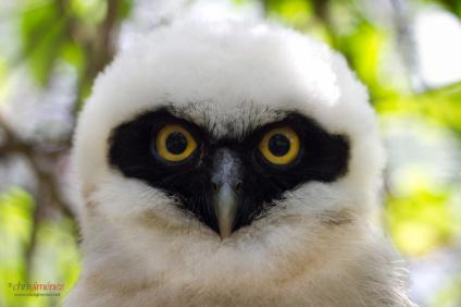 Polluelo de Oropopo, Lechuza de Anteojos/ Spectacled Owl (Pulsatrix perspicillata)-Costa Rica. Foto de Chris Jiménez.
