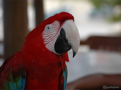 Guacamayo rojo (Ara Chloroptera)