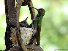 Hembra de colibrí de pecho blanco o diamante gargantiverde, [Glittering-throated Emerald] (Amazilia fimbriata) y dos crías. Cerro Verde-Caracas-Venezuela Foto: Tomás Fernández