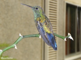 Día 01 de Adviento: tercer día del peque (Colibrí Amazilia bronceada coliazul, Amazilia tobaci) en casa.