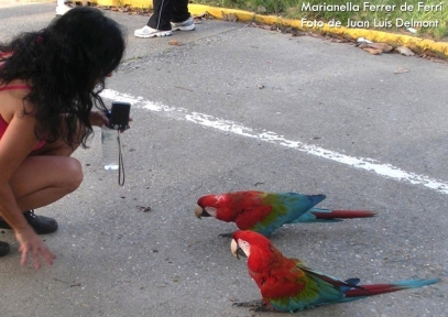Guacamayo rojo (Ara Chloroptera) Parque del Este-Caracas