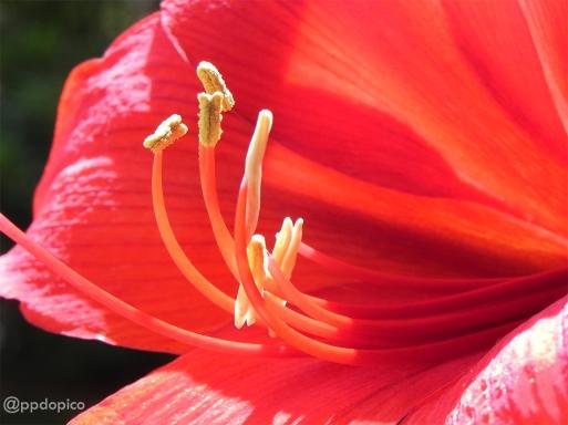 Día 08 del Calendario de Adviento 2013. Hippeastrum, Amaryllis o Amarillis Red Lion