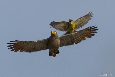 Día 13 de Adviento Gavilán Habado vs. Pitirre / Roadside Hawk Vs. Tropical Kingbird (buteo magnirrostris Vs. tyrannus melancholicus) Foto de Erick Houli