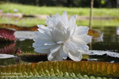 Adviento día 19 Victoria amazónica, también llamada Victoria regia, Foto Enrique Ascanio, Jardines Acuáticos Miguel Castillo (UCV)