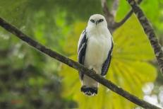 Adviento día 20 Gavilán blanco [White Hawk (Pseudastur albicollis)] Foto de Chris Jiménez http://www.chrisjimenez.net/