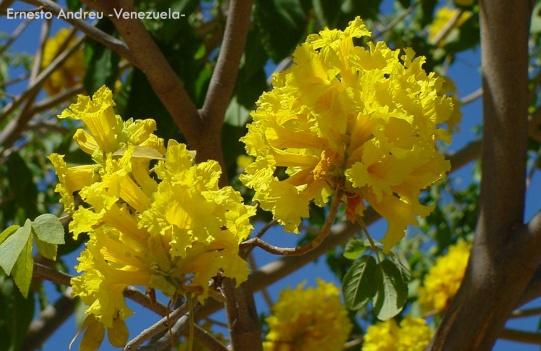 Foto® Ernesto Andreu (Venezuela): Detalle de la floración del árbol Araguán o Cañada (Tabebuia chrysea) familia Bignoniaceae en Maracay-Edo Aragua.