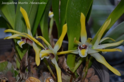 Foto® Jacqueline Martin (Venezuela) : Maxilaria setiguera.