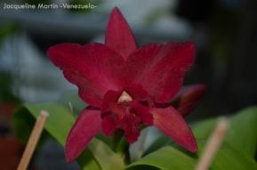 """Foto® Jacqueline Martin (Venezuela) : Cruce de Laelia con Cattleya su nombre es Lc. SJ Bracey """"WAIOLANI"""" AM/AOS. AM/AOS significa que ese cruce tiene premio de la American Orchid Society."""