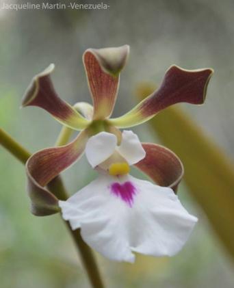 Foto® Jacqueline Martin (Venezuela): Encyclia cordigera.