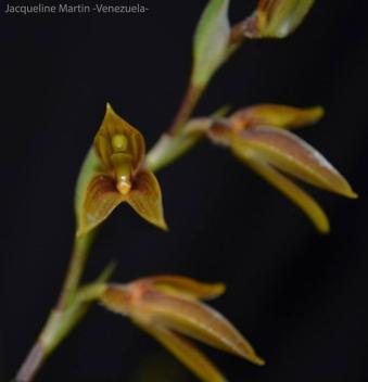 Foto® Jacqueline Martin (Venezuela): Pleurothallis erinacea.