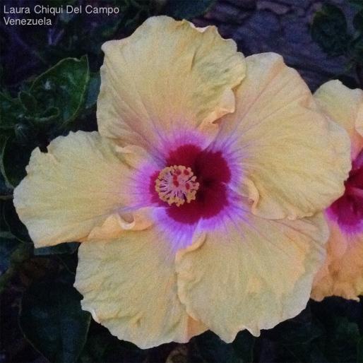 Foto® Laura Chiqui del Campo (Venezuela): Cayena, Rosa de China (Hibiscus rosa-sinensis).