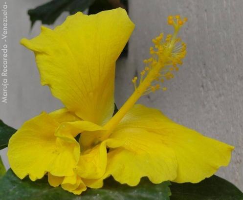 Foto® Maruja Recaredo (Venezuela): Cayena, Rosa de China (Hibiscus rosa-sinensis).