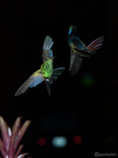 ♀=♂ Amazilia Bronceada Coliazul, [Copper Rumped Hummingbird (Amazilia tobaci)] y difuminado Colibrí ♂ Mango Pechinegro [Black Throated Mango (Anthracothorax nigricollis)]