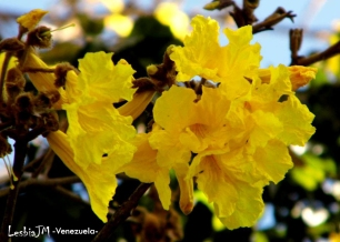 Foto® Lesbia JM -Venezuela: Flor del Araguaney, árbol nacional de Venezuela.