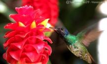 Foto® Tomás Fernández (@Tomasnomas29) -Venezuela: Caña de la India, Costus L. Zingiberaceae-Costaceae y el colibrí ♂ Cola de Oro [Golden-tailed Sapphire] (Chrysuronia oenone)