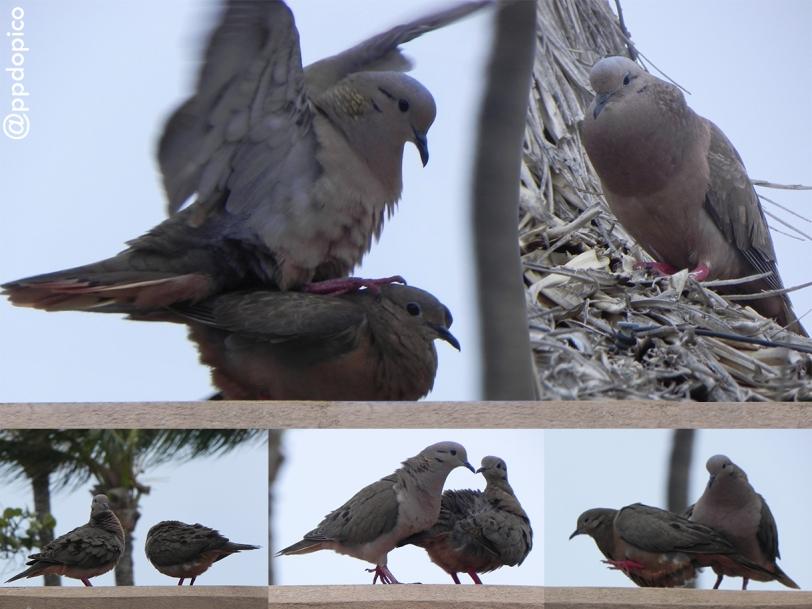 Paloma sabanera [Eared Dove (Zenaida auriculata)]