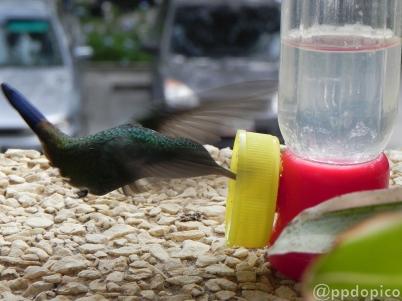 ♀=♂ Amazilia Bronceada Coliazul, [Copper Rumped Hummingbird (Amazilia tobaci)] comiendo a milímetros del piso.