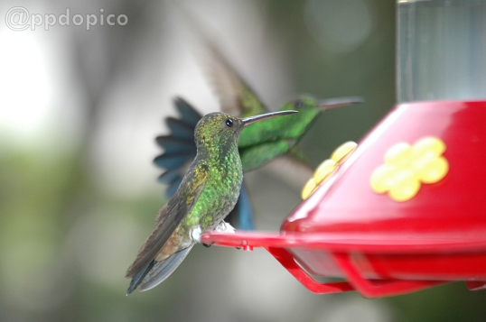 ♀=♂ Amazilia Bronceada Coliazul, [Copper Rumped Hummingbird (Amazilia tobaci)].