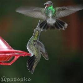 ♀=♂ Colibrí de pecho blanco o diamante gargantiverde [Glittering-throated Emerald (Amazilia fimbriata)].