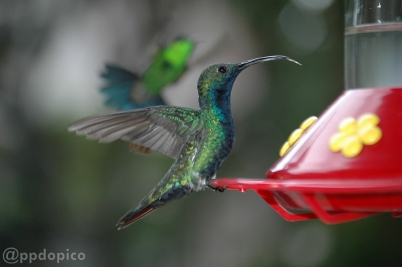 Colibrí macho ♂ Mango Pechinegro [Black Throated Mango (Anthracothorax nigricollis)] y volando ♀=♂ Amazilia Bronceada Coliazul, [Copper Rumped Hummingbird (Amazilia tobaci)].